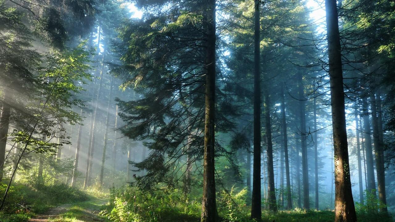 ліс, сосни