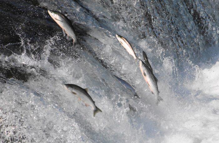 риба стрибає