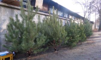 ялинки, сосни, новорічні дерева