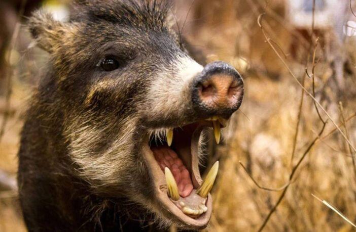 свиня з іклами, пащека