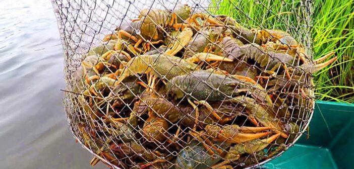 Із 1 серпня на Київщині розпочинається сезонна заборона на вилов раків